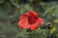花瓣舒展的深红色玫瑰花