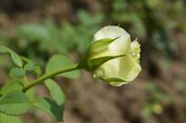 花形小巧的淡黄色月季花
