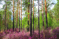 金达莱盛开的松林