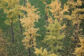 金秋银杏树