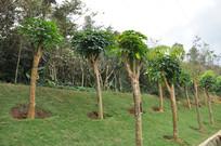 路边的绿化树