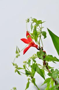 绿叶红花美人蕉花草