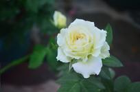 美丽的白玫瑰