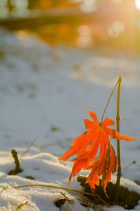 逆光中的雪地红色枫叶