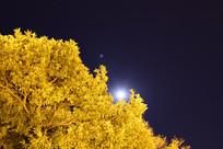 透过金灿灿的树木看月明