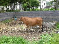 乡下的老黄牛