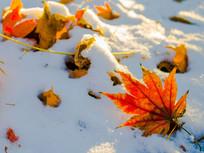 雪地上的红色枫叶