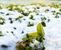 雪地四叶草