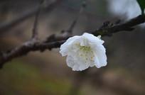 一朵白桃花