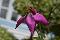 紫色月季花