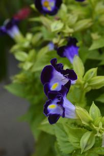 蚌壳草花朵