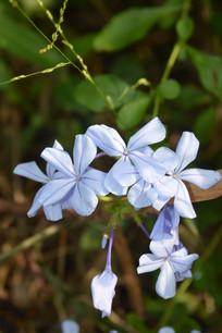 淡蓝色花朵蓝雪花