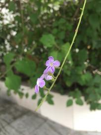 淡紫色花金露花图片