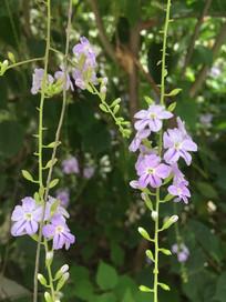 淡紫色金露花