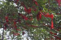 广州白云山许愿树