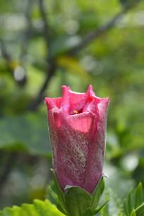 含苞欲放的红色重瓣朱槿