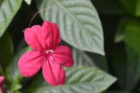 红色花朵艳芦莉