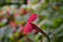 红色花朵艳芦莉近拍