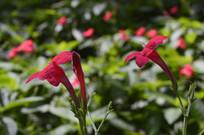 红色花朵艳芦莉拍摄图