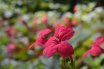 红色花朵艳芦莉摄影图