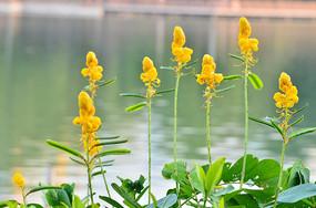 湖边的黄色小花