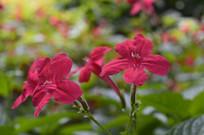 几朵红色花朵艳芦莉