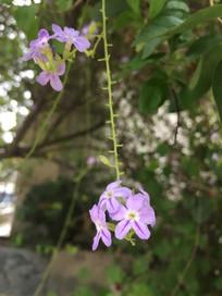 金露花花朵图片
