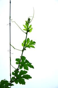 苦瓜的藤蔓图片