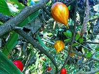 热带茂密丛林中的野生果实