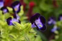散胆草花朵