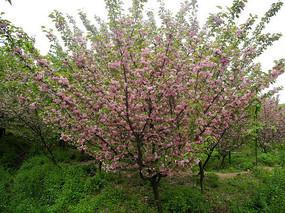 树上盛开的樱花