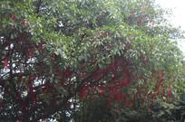 悬挂红绸带的许愿树