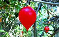 野外藤蔓植物红色果实特写