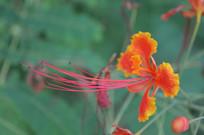 一朵橙红色金凤花