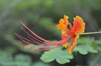 一朵凤凰花图片