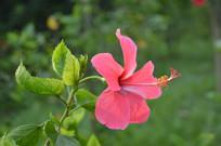 一朵高清岭南大红花图片