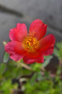 一朵红色太阳花