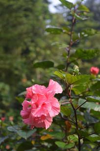 一朵硕大的桃红色重瓣朱槿花