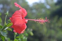 一朵中国岭南大红花