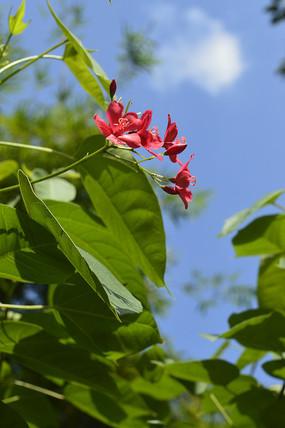 一片绿丛中的琴叶珊瑚花朵