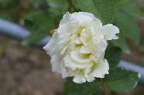 白色月季花朵花卉图片