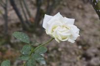 白月季花朵花卉图片
