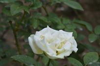 纯白色月季花朵花卉图片