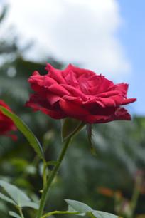 大红色月季花花朵花卉图片