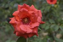 大花红色月季花花卉图片