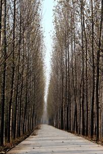 冬季小路和杨树林