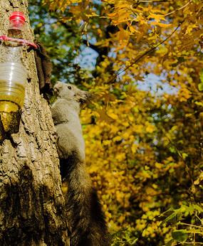 枫树树干上的松鼠