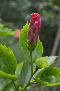 扶桑枝叶与花苞