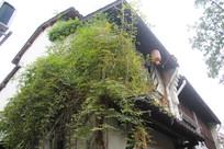杭州小河直街楼房与藤蔓