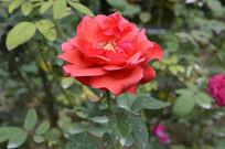 红月季花朵花卉图片
